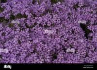 Carpet Phlox Canada - Carpet Vidalondon