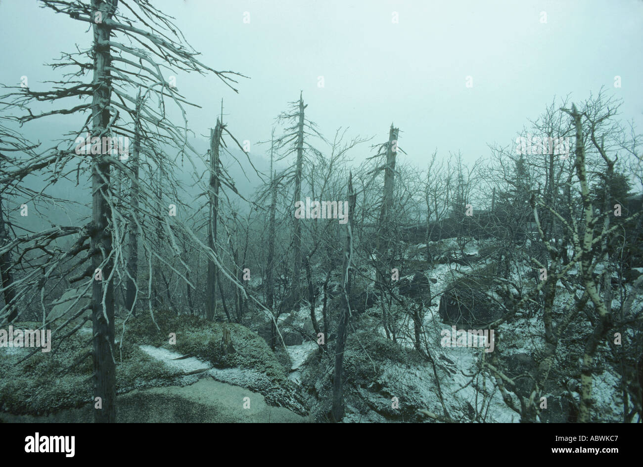 hight resolution of acid rain kills spruce forest europe stock image