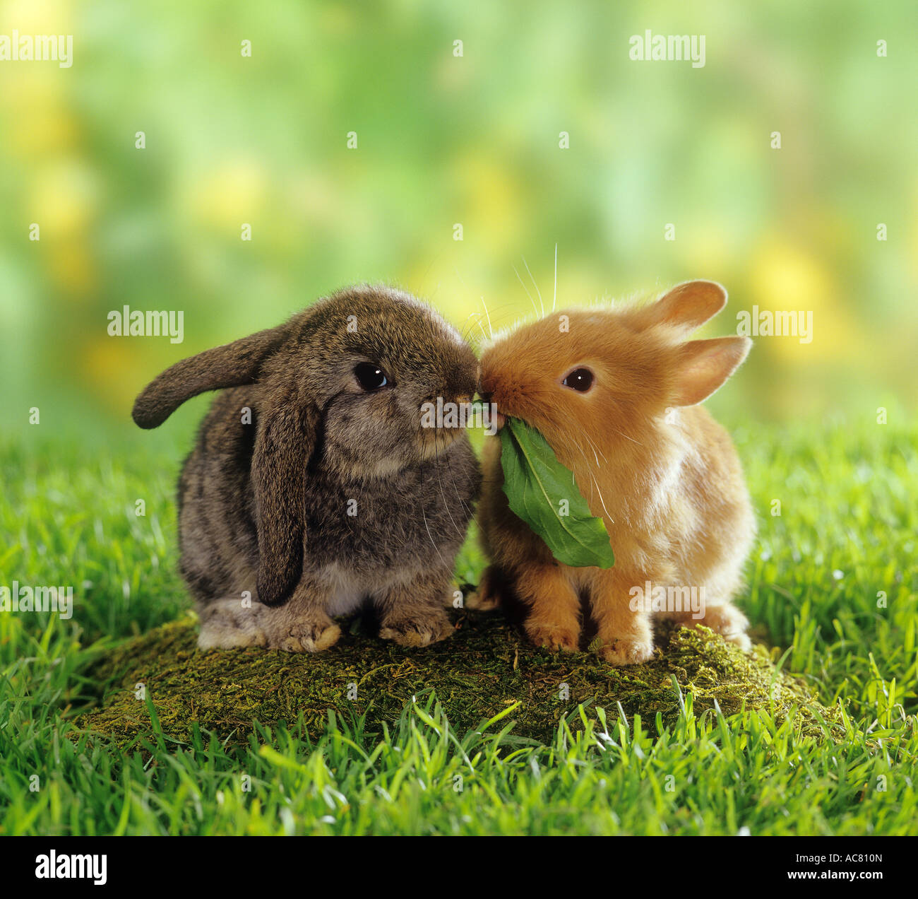 Cute Baby Pets Live Wallpaper Download Dwarf Rabbit And Lop Eared Dwarf Rabbits Eating A Leaf