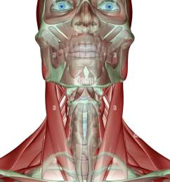 the musculoskeleton of the head neck and face stock image [ 841 x 1390 Pixel ]