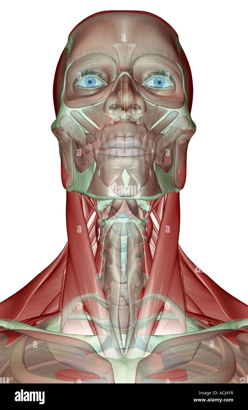 hight resolution of the musculoskeleton of the head neck and face stock image