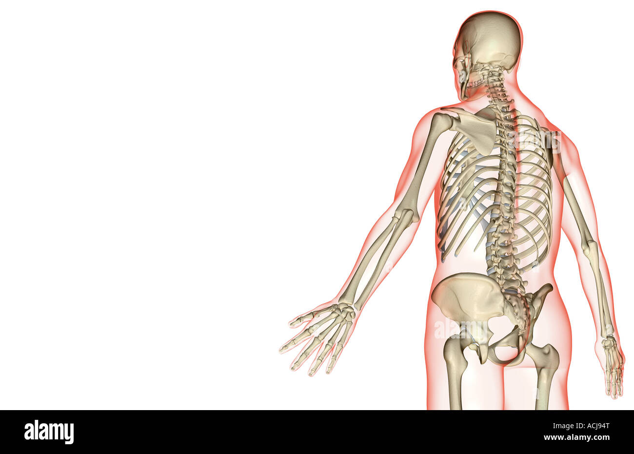 hight resolution of the bones of the upper body