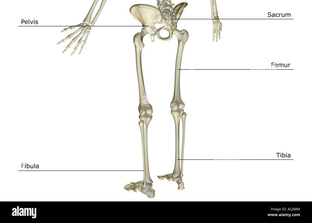 medium resolution of the bones of the lower body stock image