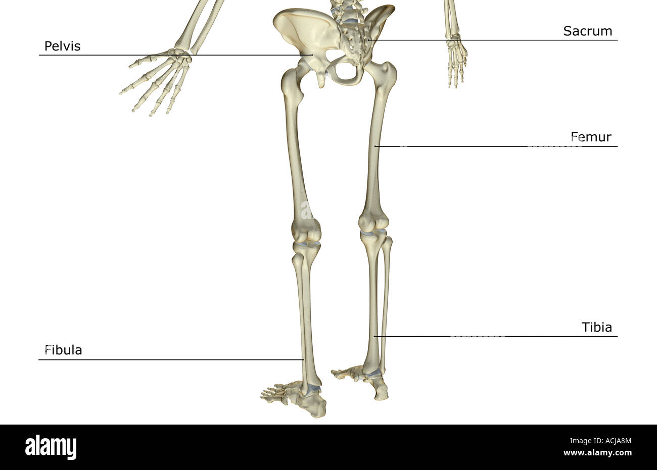 hight resolution of the bones of the lower body stock image