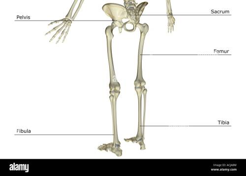 small resolution of the bones of the lower body stock image