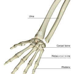 Forearm Bones Diagram Bridged Mono Wiring Stock Photos Images Alamy The Of Image