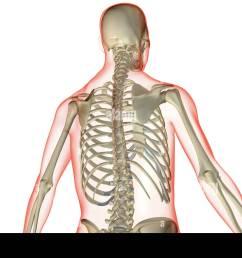 the bones of the upper body stock image [ 1300 x 931 Pixel ]