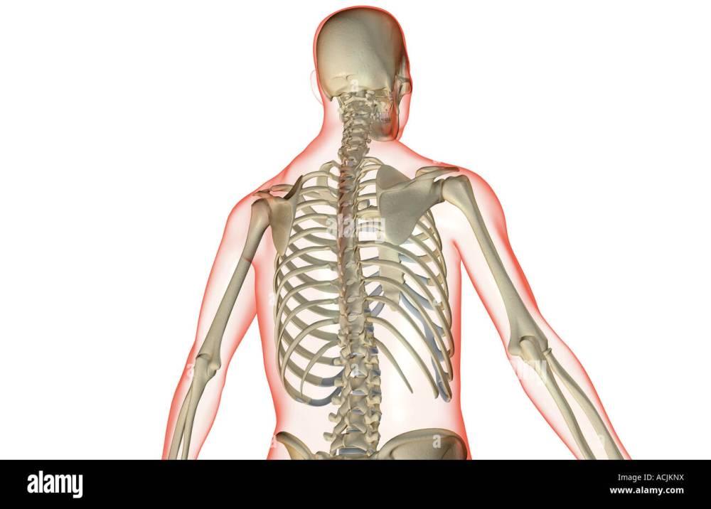 medium resolution of the bones of the upper body stock image