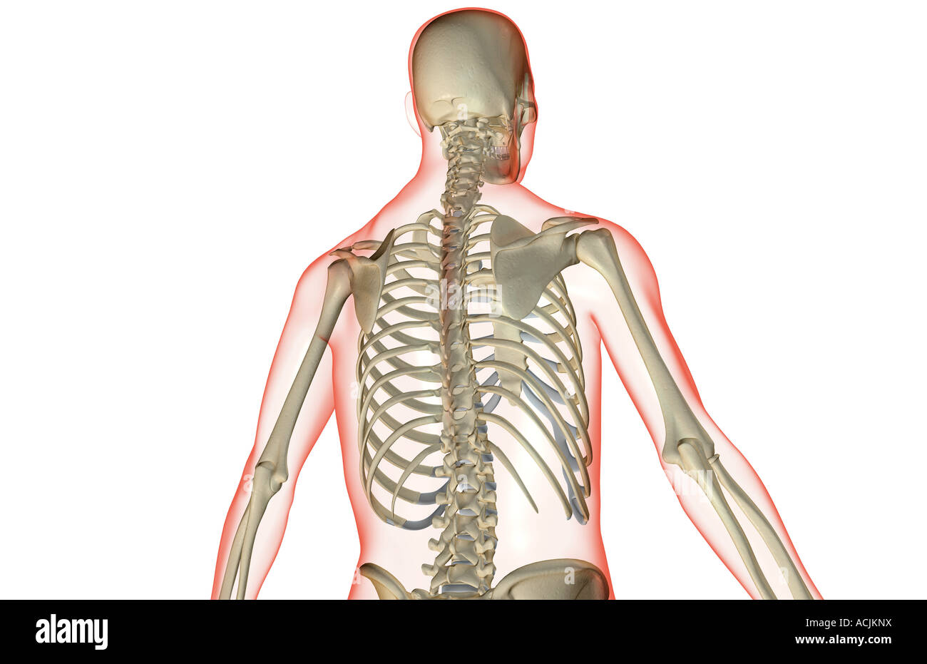 hight resolution of the bones of the upper body stock image