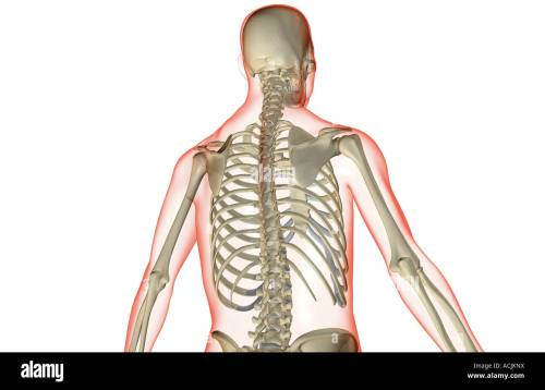 small resolution of the bones of the upper body stock image