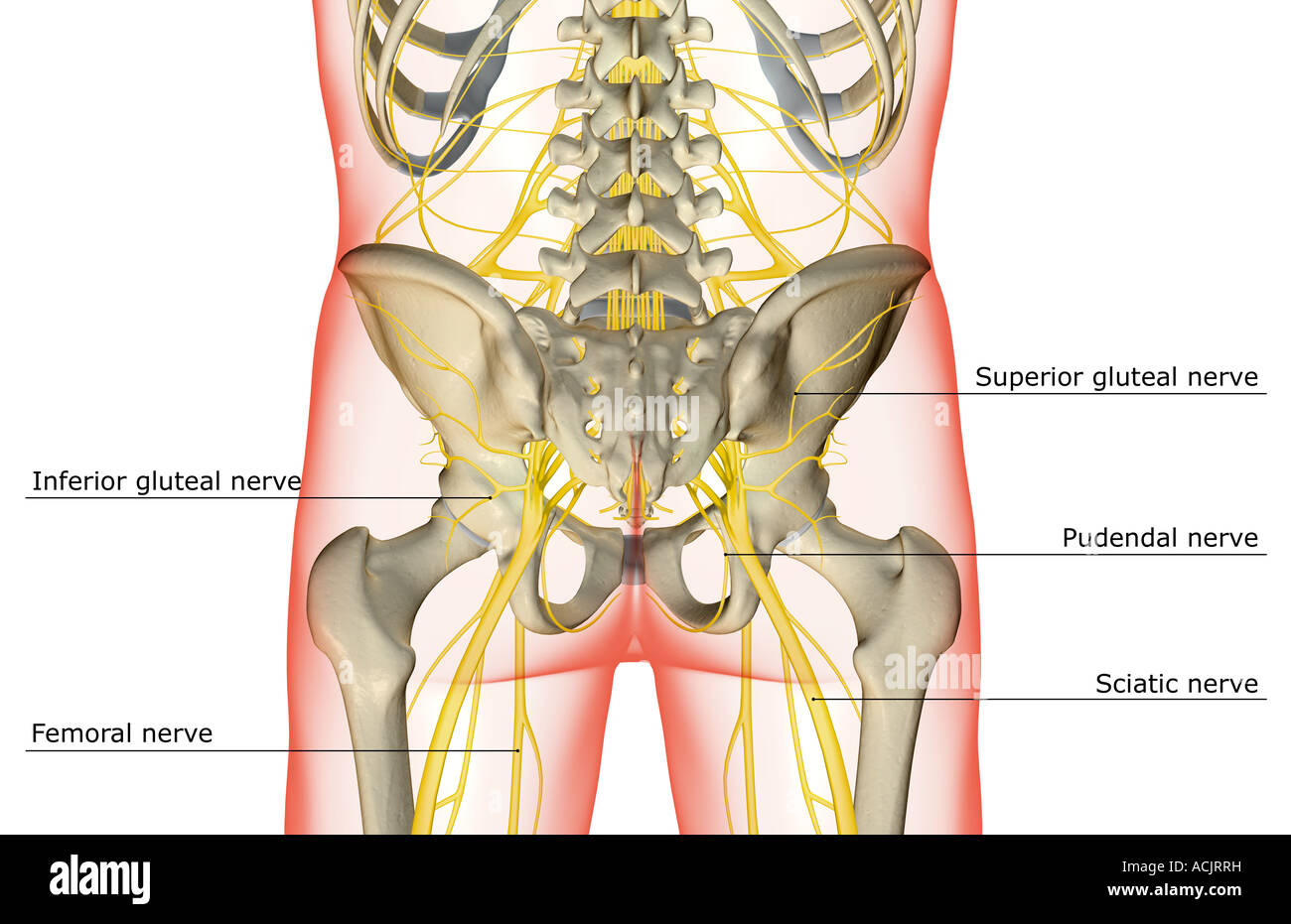 hight resolution of the nerves of the lower body