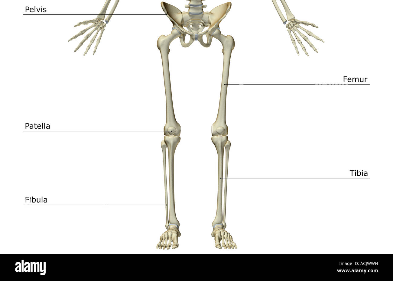 hight resolution of the bones of the lower body