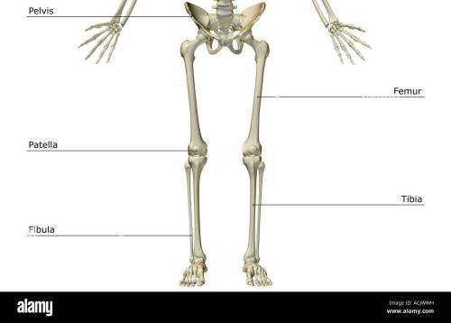 small resolution of the bones of the lower body