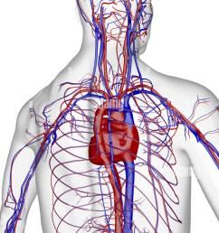 the blood supply of the upper body stock photo 13175450 alamy rh alamy com upper body muscles diagram upper body bone diagram [ 841 x 1390 Pixel ]
