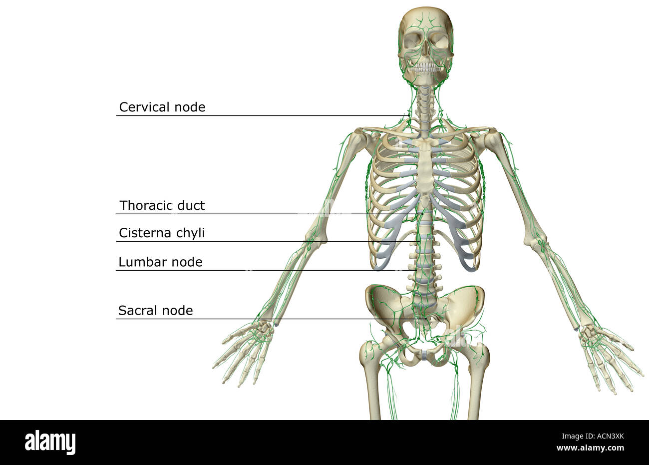 hight resolution of the lymph supply of the upper body stock image