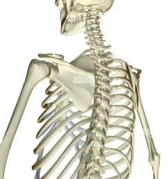 the bones of the upper body [ 841 x 1390 Pixel ]