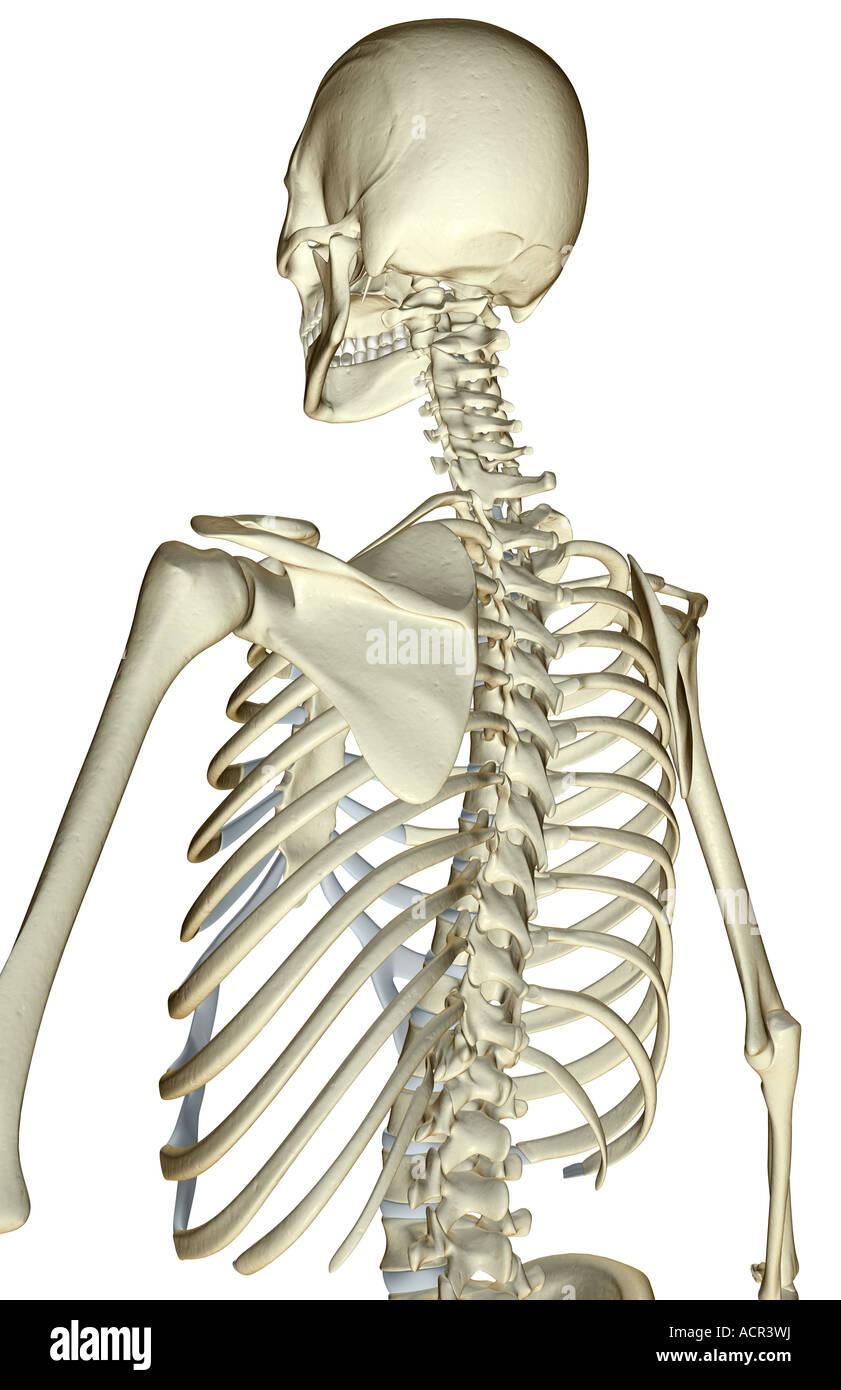 medium resolution of the bones of the upper body