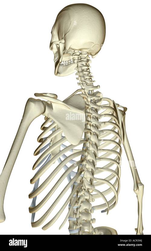 small resolution of the bones of the upper body