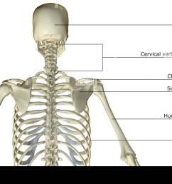 the bones of the upper body [ 1300 x 931 Pixel ]