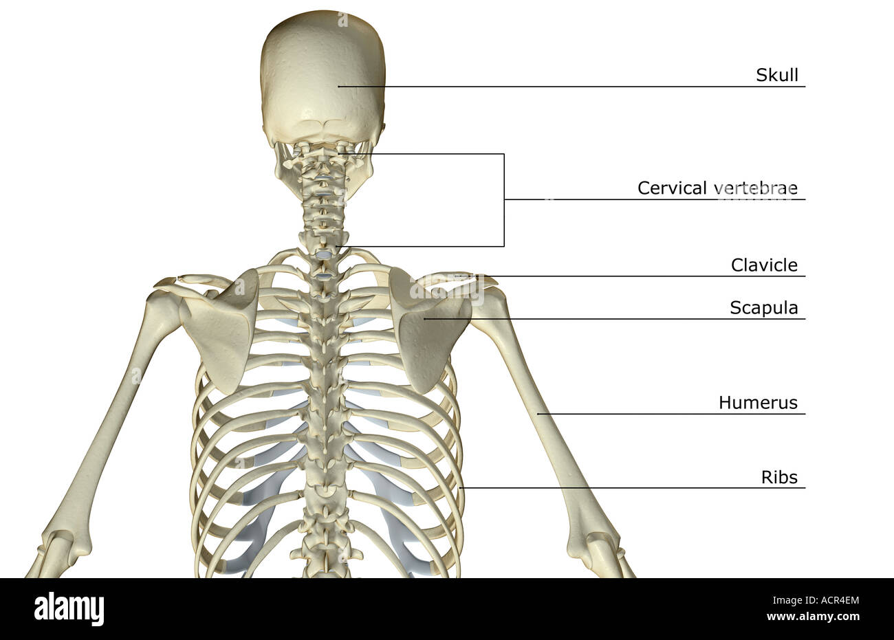 hight resolution of diagram of bones in upper torso wiring diagram structure upper body skeleton diagram upper body bone diagram