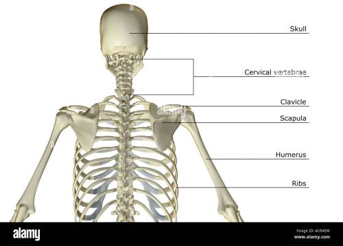 small resolution of diagram of bones in upper torso wiring diagram structure upper body skeleton diagram upper body bone diagram