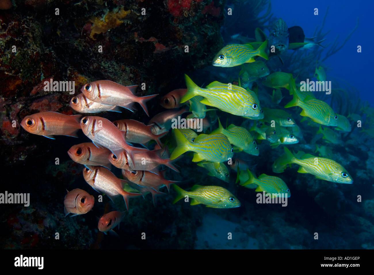 caribbean red fish big