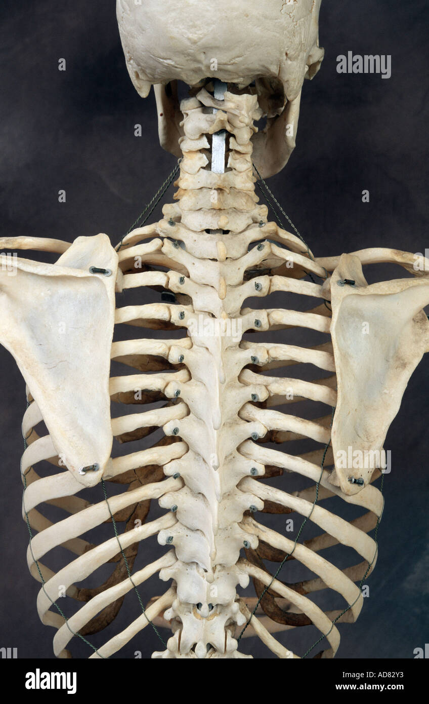 Human Skeleton Back High Resolution Stock Photography and Images - Alamy
