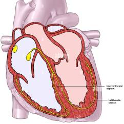 Anterior Heart Diagram Unlabeled Mgf Radio Wiring Cardiac Conduction System Stock Photo 7710089 Alamy