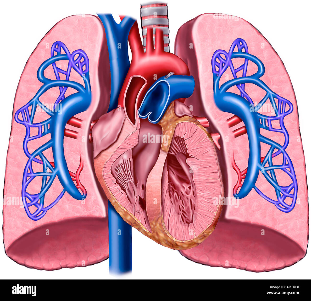 hight resolution of anatomy of the heart and lungs with pulmonary artery circulation