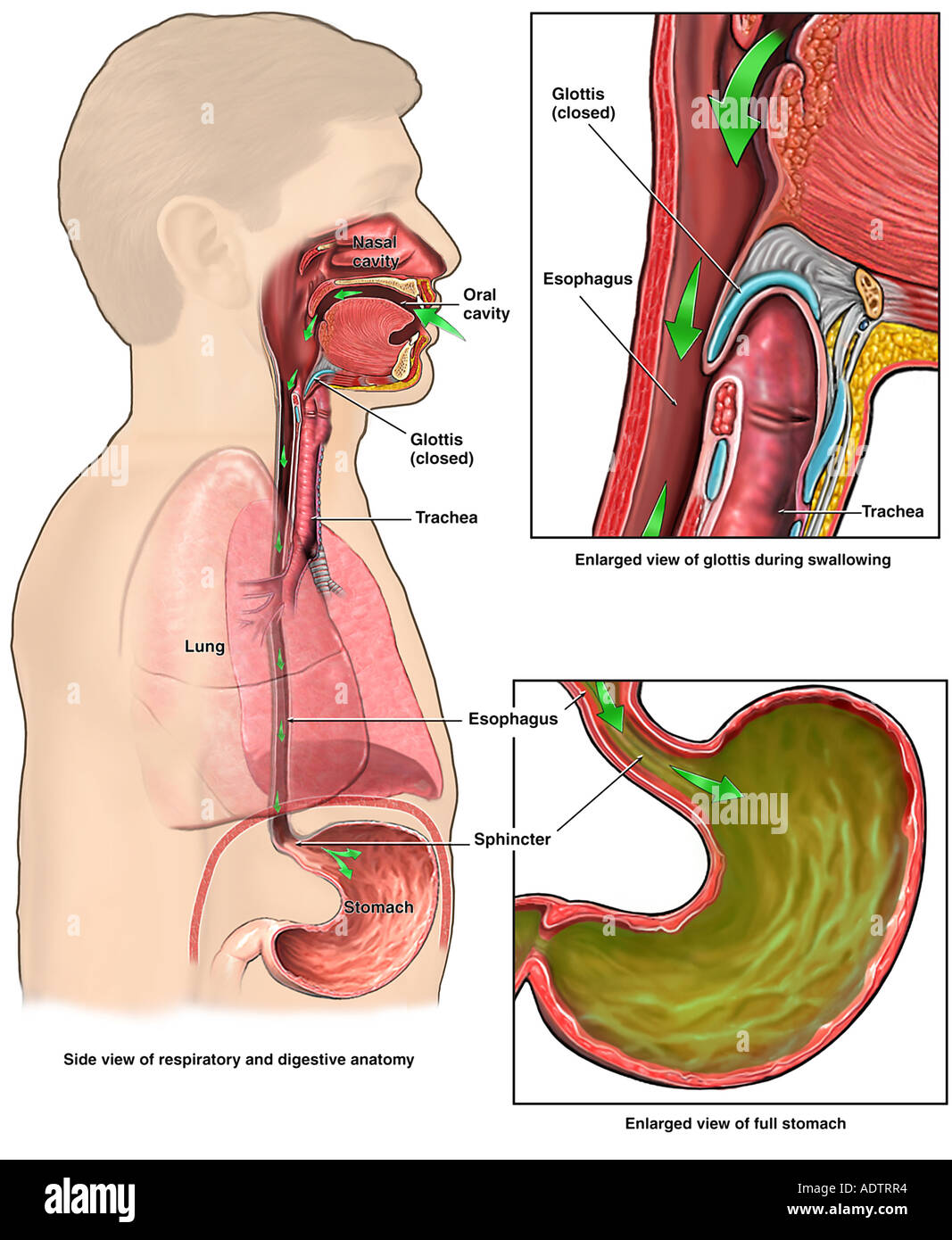 hight resolution of anatomy of the upper digestive system stock image
