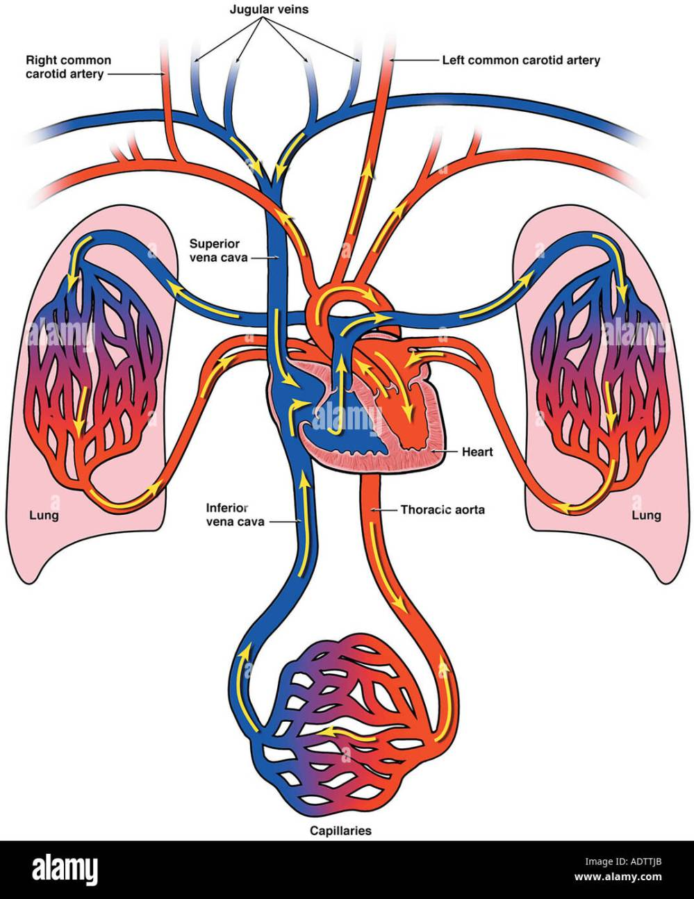medium resolution of diagram of bloodflow to the heart lungs and body stock image