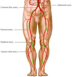 blood flow from the aorta artery circulation of the legs stock image [ 1125 x 1390 Pixel ]