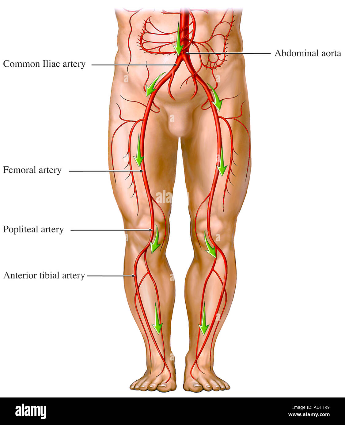 hight resolution of blood flow from the aorta artery circulation of the legs stock image