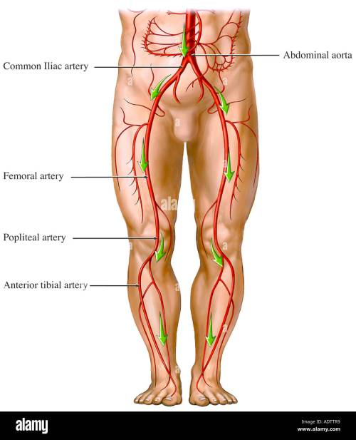 small resolution of blood flow from the aorta artery circulation of the legs stock image