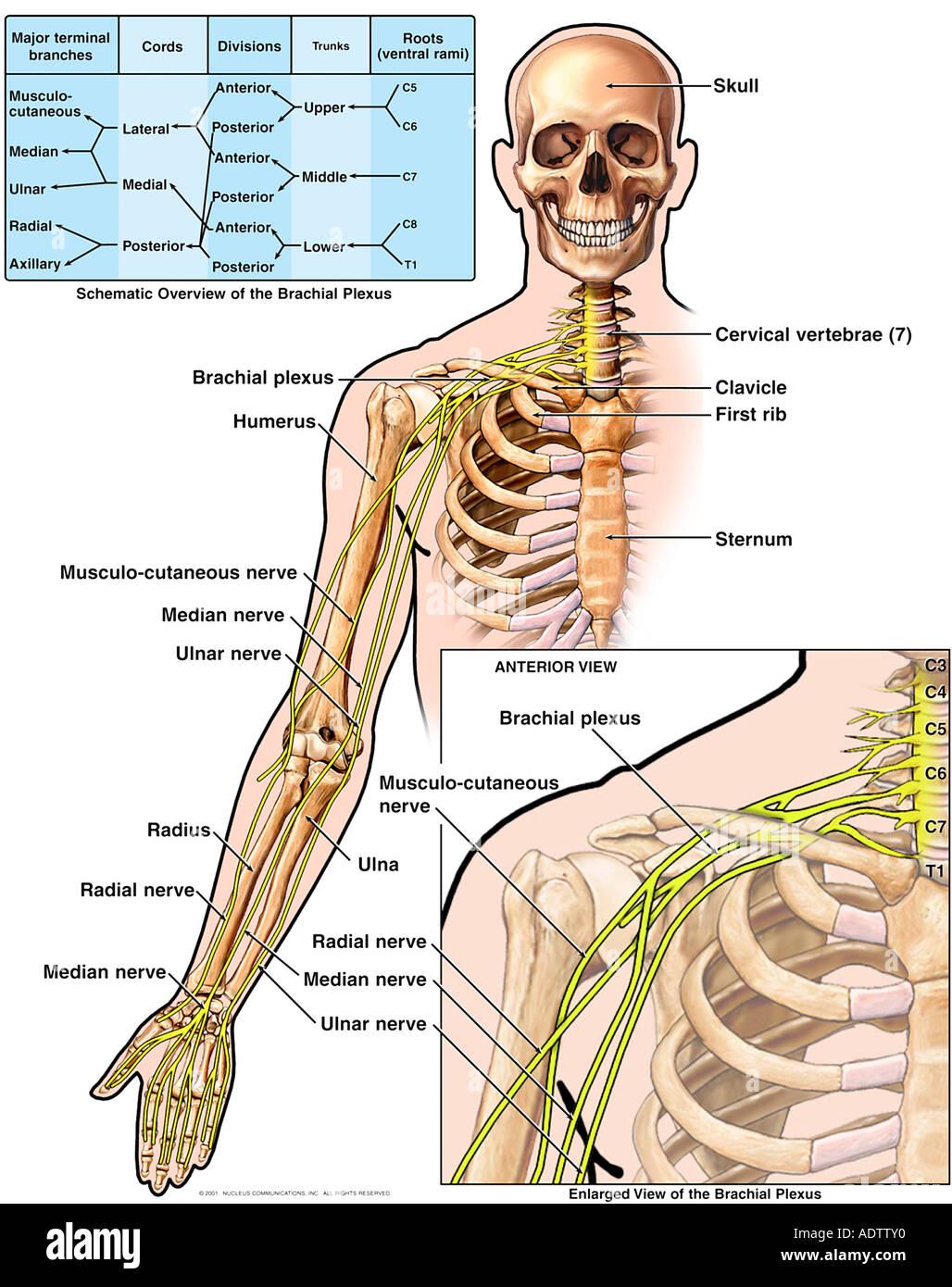 ulnar nerve diagram 2016 honda civic stereo wiring anatomy of the brachial plexus stock photo: 7710383 - alamy