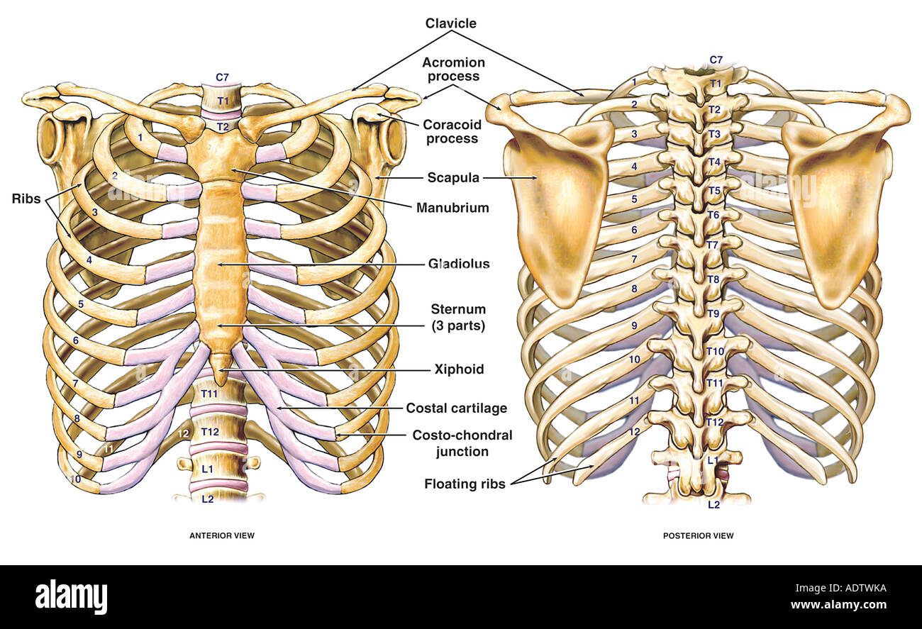 hight resolution of thoracic chest and back skeletal skeleton anatomy featuring the ribs sternum scapula and vertebrae