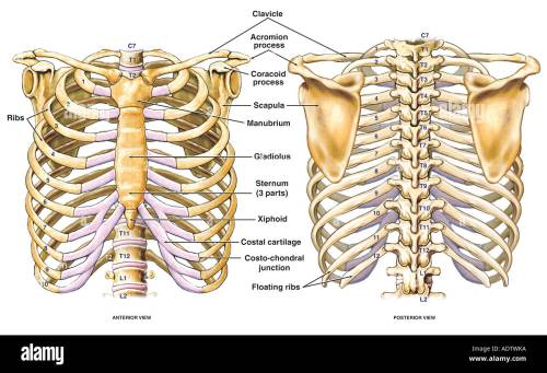 small resolution of thoracic chest and back skeletal skeleton anatomy featuring the ribs sternum scapula and vertebrae