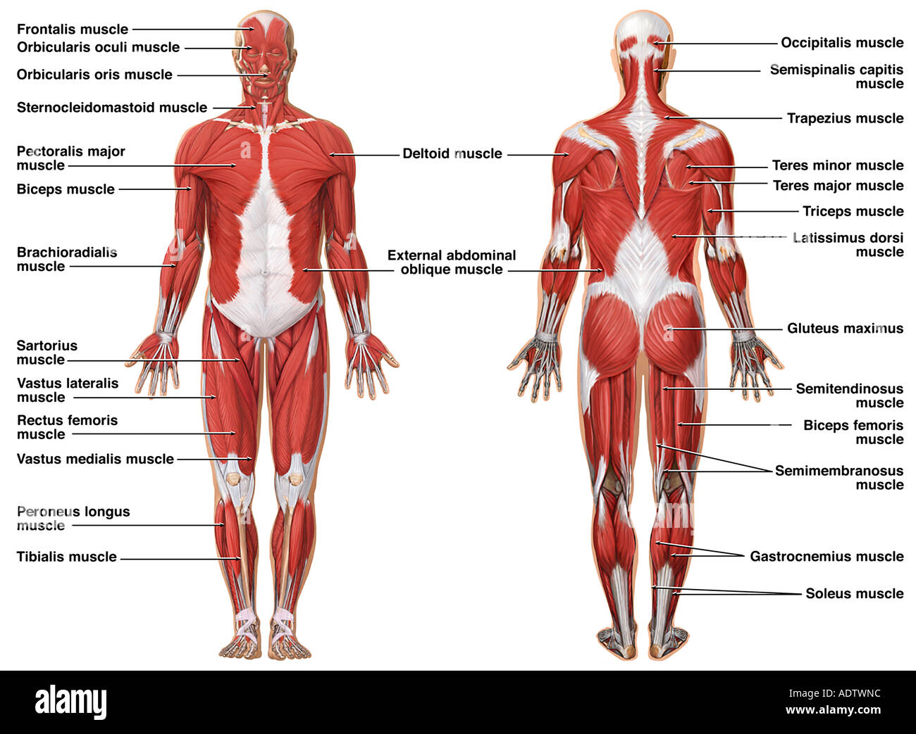 major muscle diagram to label waterfall development anatomy of the muscular system stock photo 7710491 alamy