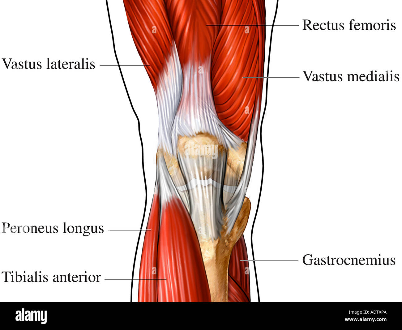 knee diagrams anatomy of a 2004 jayco eagle wiring diagram anterior muscles stock photo 7710697 alamy