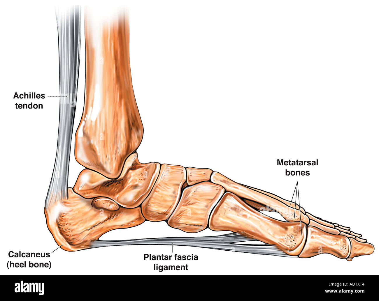 hight resolution of anatomy of the foot and ankle stock image