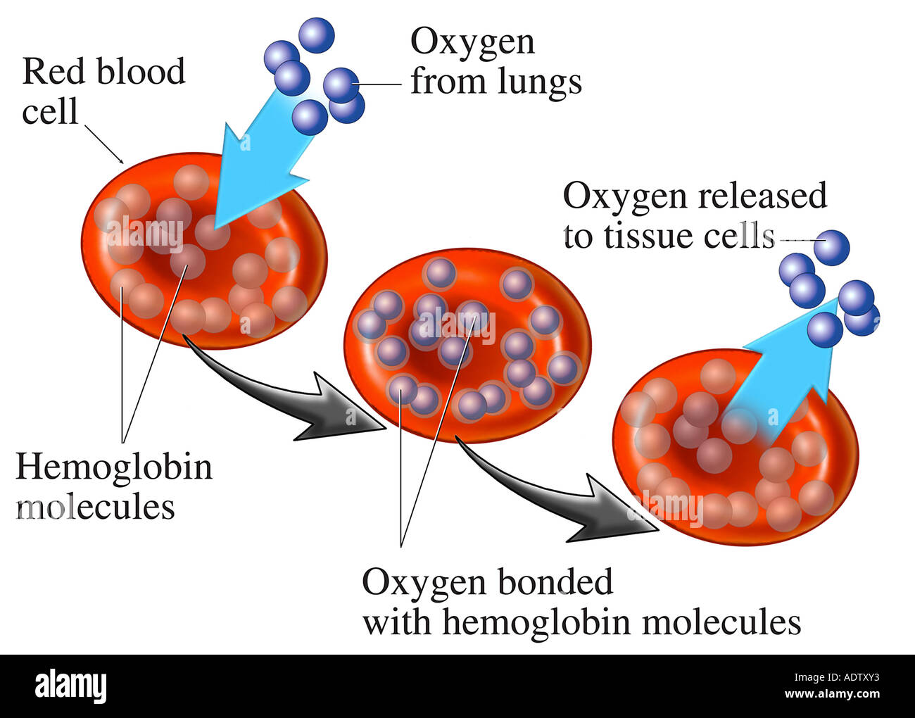 hight resolution of ed blood cell rbc hemoglobin