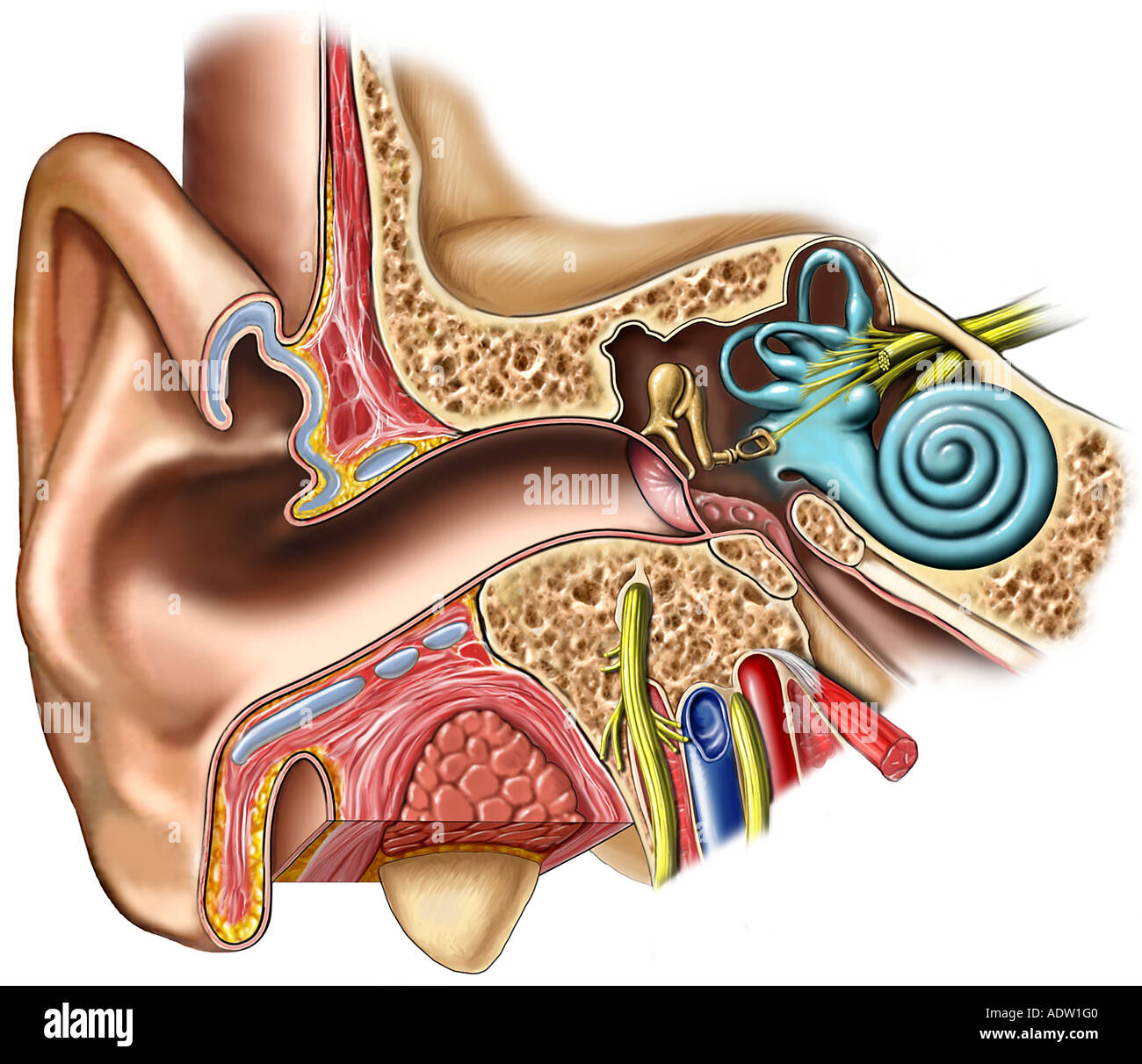 hight resolution of anatomy of the right ear cross section