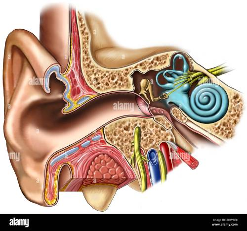 small resolution of anatomy of the right ear cross section