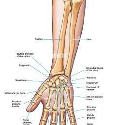 anatomy of the forearm arm and hand bones stock image [ 829 x 1390 Pixel ]