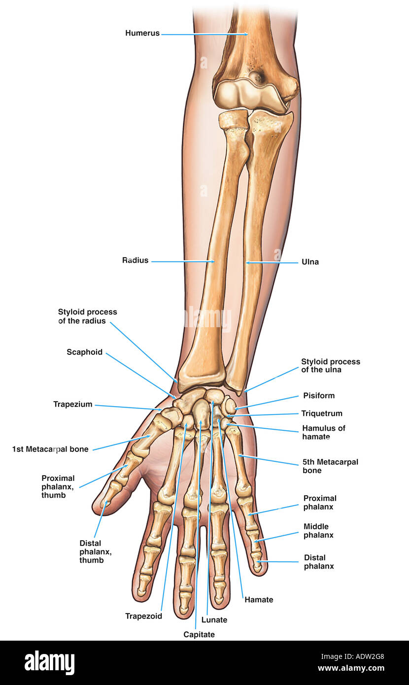medium resolution of anatomy of the forearm arm and hand bones stock image