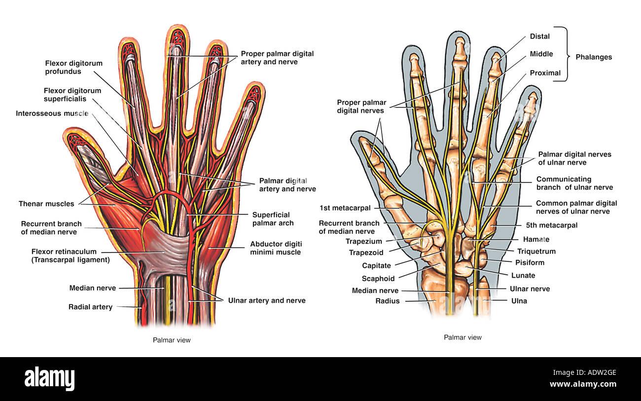 palmar hand muscle anatomy diagram the open window by saki plot of view stock photo 7711373 alamy