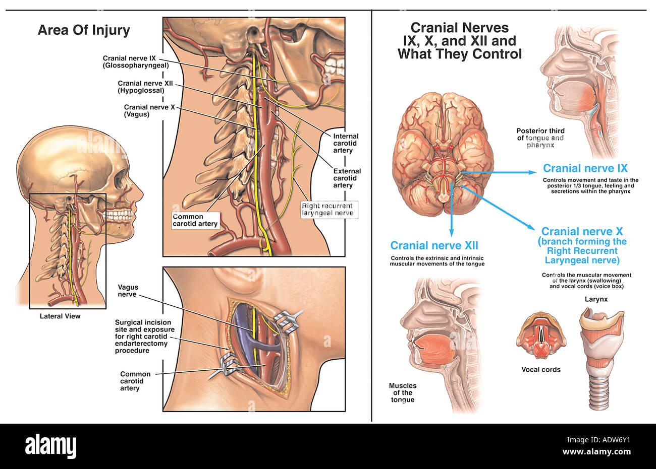 Trigeminal Nerve Pathways Illustration