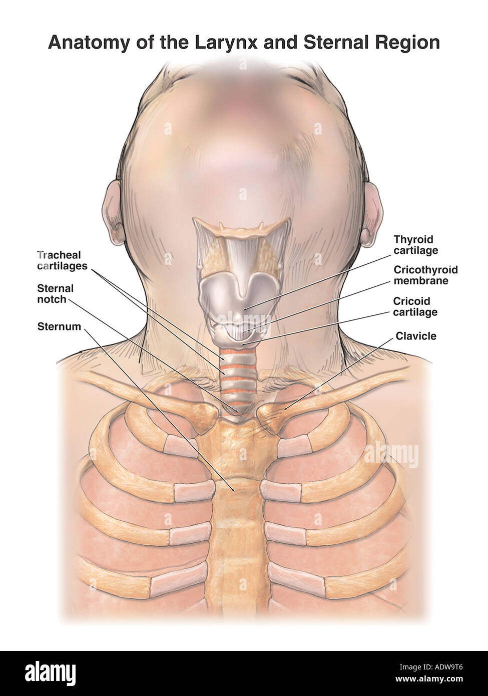 medium resolution of anatomy of the larynx throat and sternal region