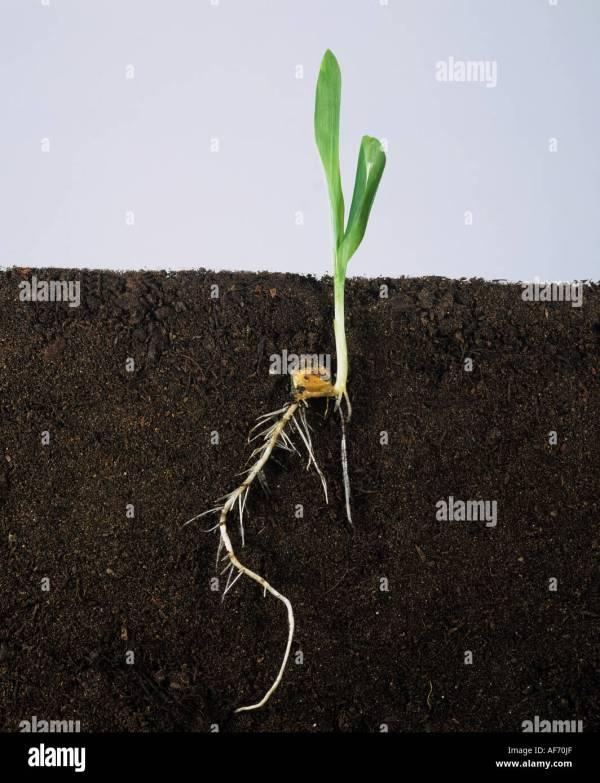 Corn Roots Development