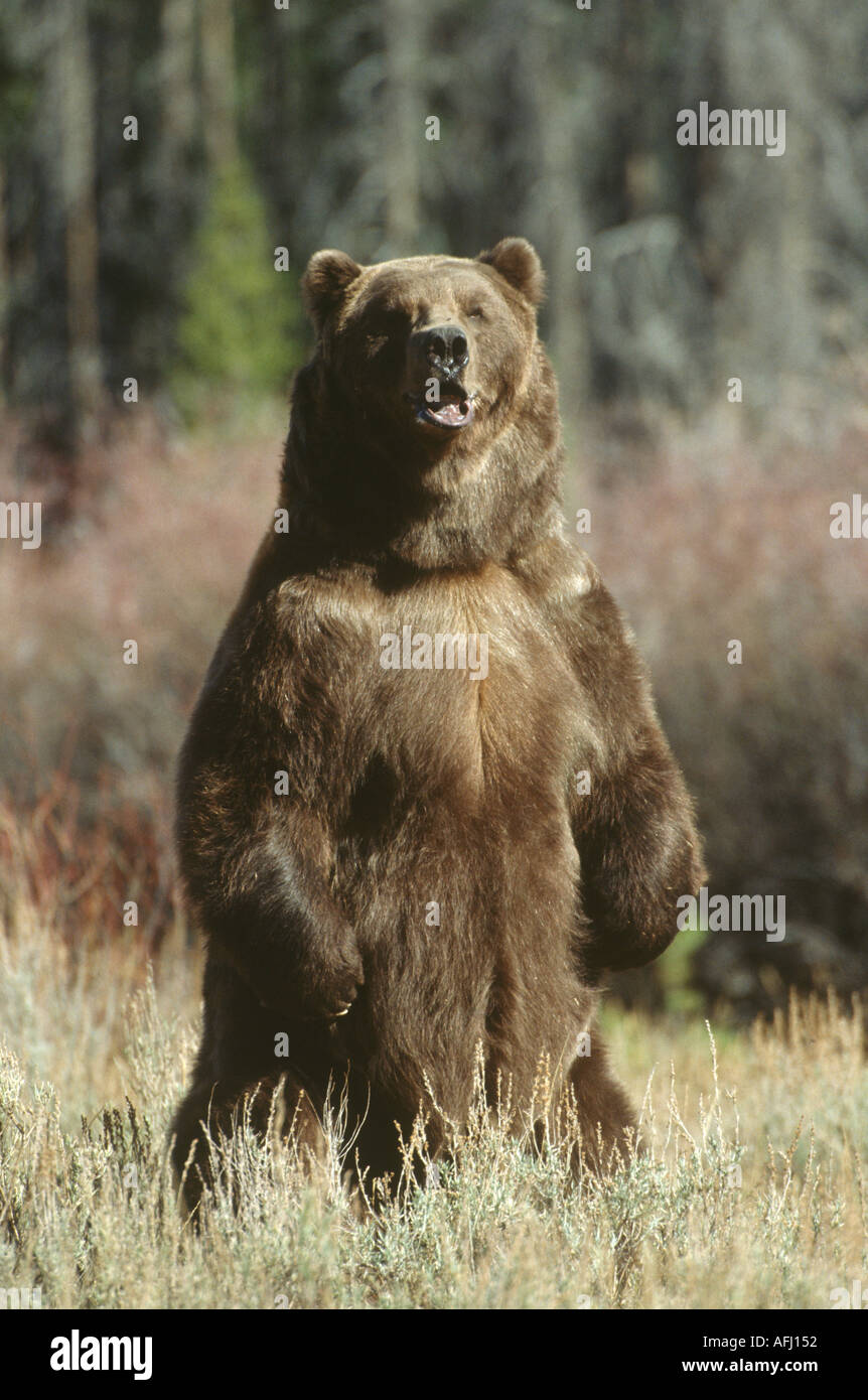 Brown Or Grizzly Bear Standing Up Stock Photo Alamy